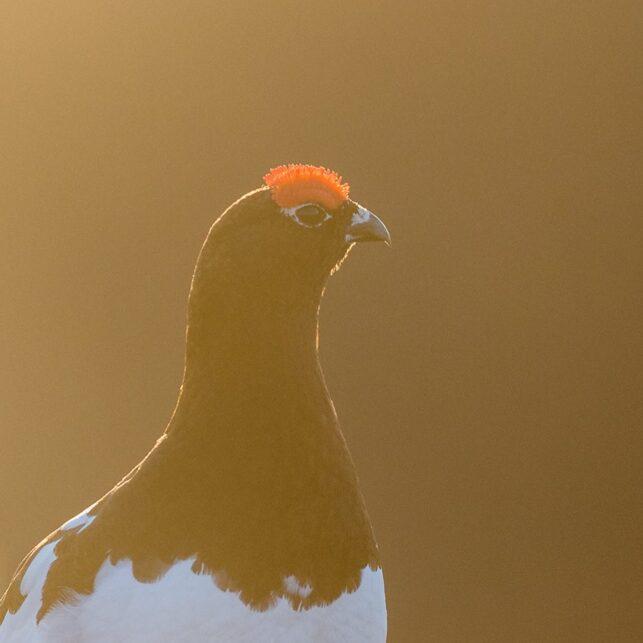 Rypesteggen blir ekstra stram når høna er i nærheten, fotokunst veggbilde / plakat av Kjell Erik Moseid