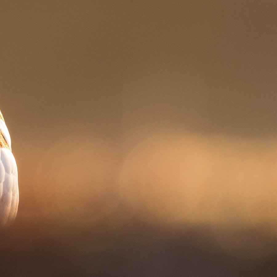 Rypehøne med tilnærmet  sommerdrakt av Kjell Erik Moseid