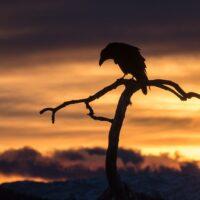 Ravn i silhuett mot en farget himmel, fotokunst veggbilde / plakat av Kjell Erik Moseid