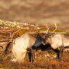 Storbukk og simle en høstdag i fjellet, fotokunst veggbilde / plakat av Kjell Erik Moseid