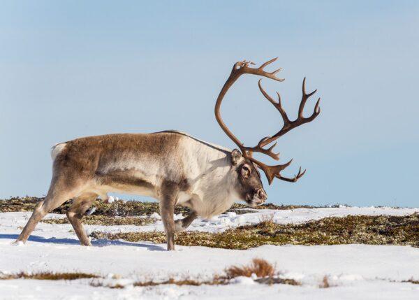 En storbukk på vandring i høstens første snø, fotokunst veggbilde / plakat av Kjell Erik Moseid