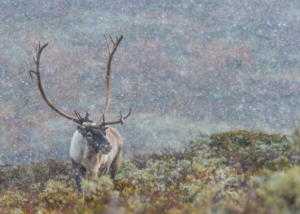 En storbukk i høstens første snøbyge, fotokunst veggbilde / plakat av Kjell Erik Moseid