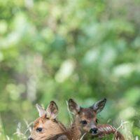 To skal man være. To rådyrkje som holder sammen, fotokunst veggbilde / plakat av Kjell Erik Moseid