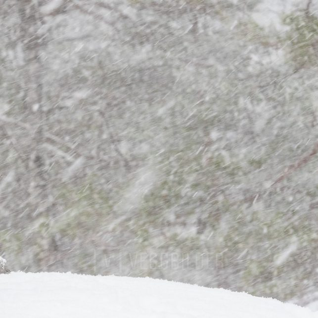 Tiuren spiller mens den tunge snøen laver ned, fotokunst veggbilde / plakat av Kjell Erik Moseid