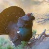 Spilltiur med utslått hale på furugrein, fotokunst veggbilde / plakat av Kjell Erik Moseid