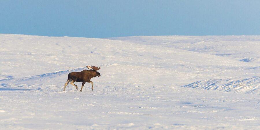 Vinterelg på vandring av Kjell Erik Moseid