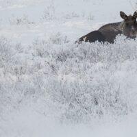 10-takker og ku i vintermiljø, fotokunst veggbilde / plakat av Kjell Erik Moseid