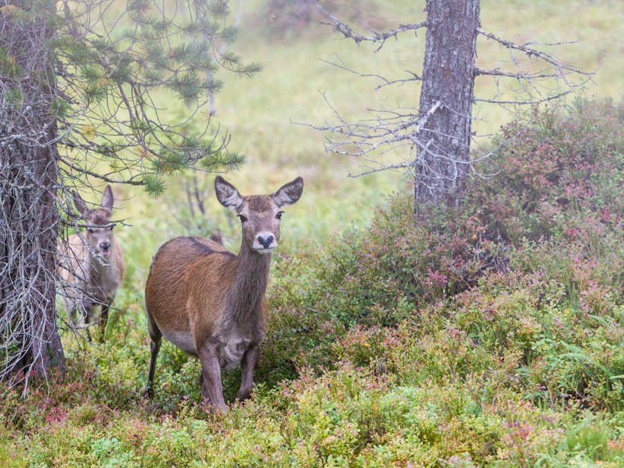 Hjortekolle med kalv av Kjell Erik Moseid
