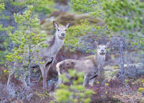 Hjortekolle med nysgjerrig årskalv, fotokunst veggbilde / plakat av Kjell Erik Moseid