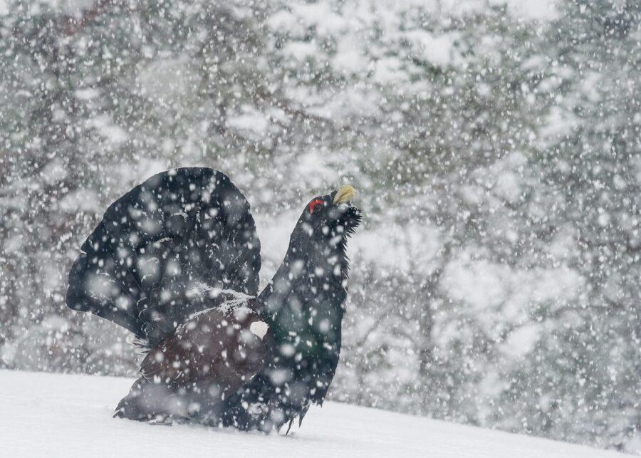Tiurleik i kraftig snøvær av Kjell Erik Moseid