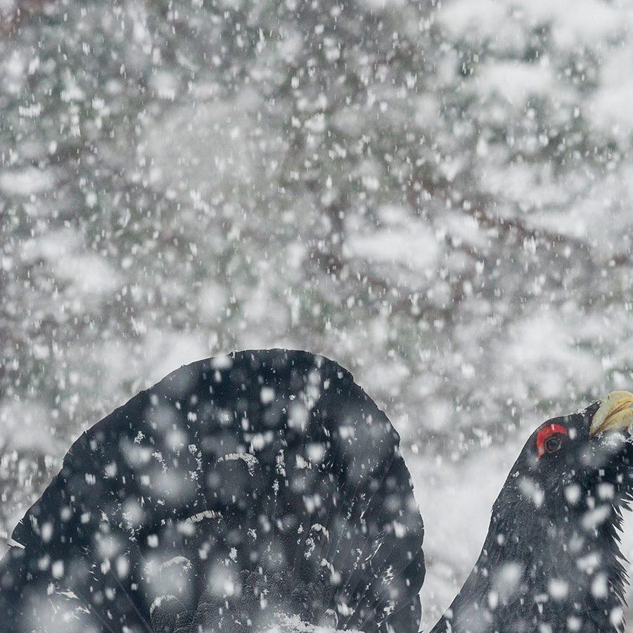 Tiurleik i kraftig snøvær, fotokunst veggbilde / plakat av Kjell Erik Moseid