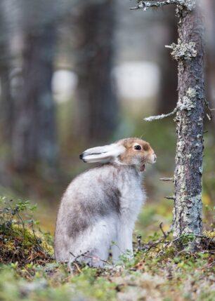Haren sitter og gjesper før han legger seg ned igjen, fotokunst veggbilde / plakat av Kjell Erik Moseid