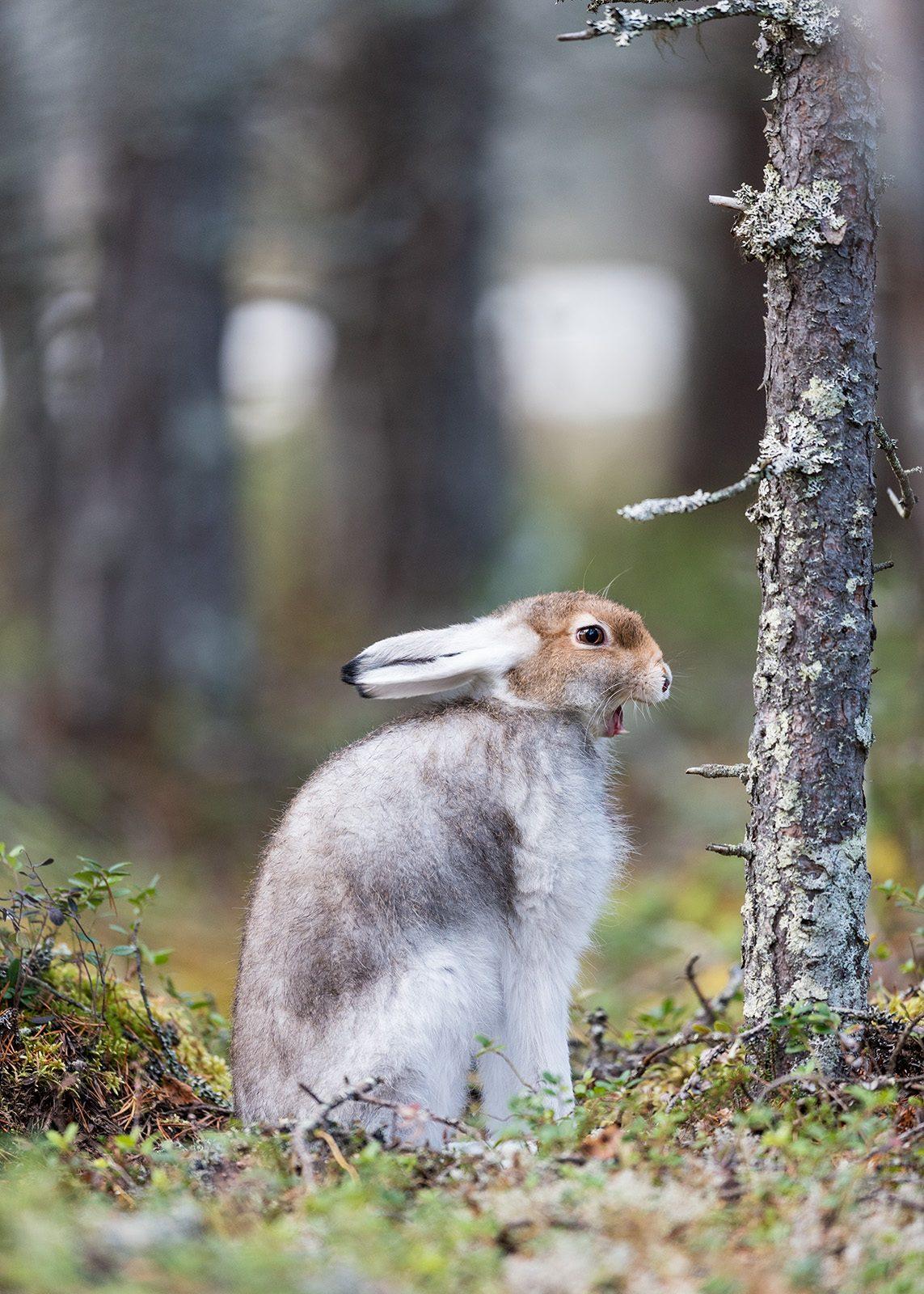 Harestrekk av Kjell Erik Moseid