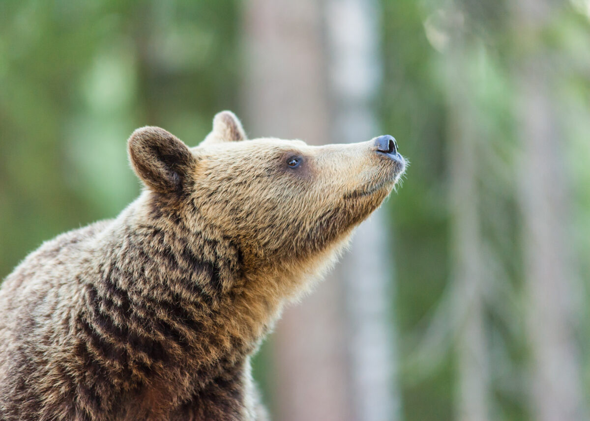 En bjørn orienterer seg med luktesansen, fotokunst veggbilde / plakat av Kjell Erik Moseid