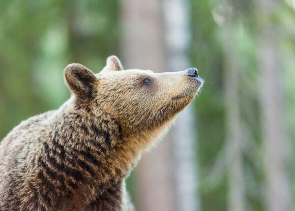 Bjørnen løfter hodet for å orientere seg med luktesansen, fotokunst veggbilde / plakat av Kjell Erik Moseid