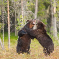 To middels store hannbjørner sloss om ei binne i brunsten, fotokunst veggbilde / plakat av Kjell Erik Moseid