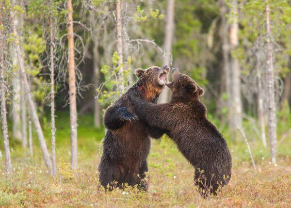 To middels store hannbjørner sloss, fotokunst veggbilde / plakat av Kjell Erik Moseid