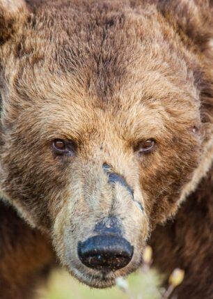 Portrett av en stor gammel bjørn med store arr, fotokunst veggbilde / plakat av Kjell Erik Moseid