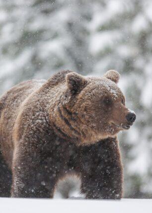 En stor bjørn i snøvær, fotokunst veggbilde / plakat av Kjell Erik Moseid