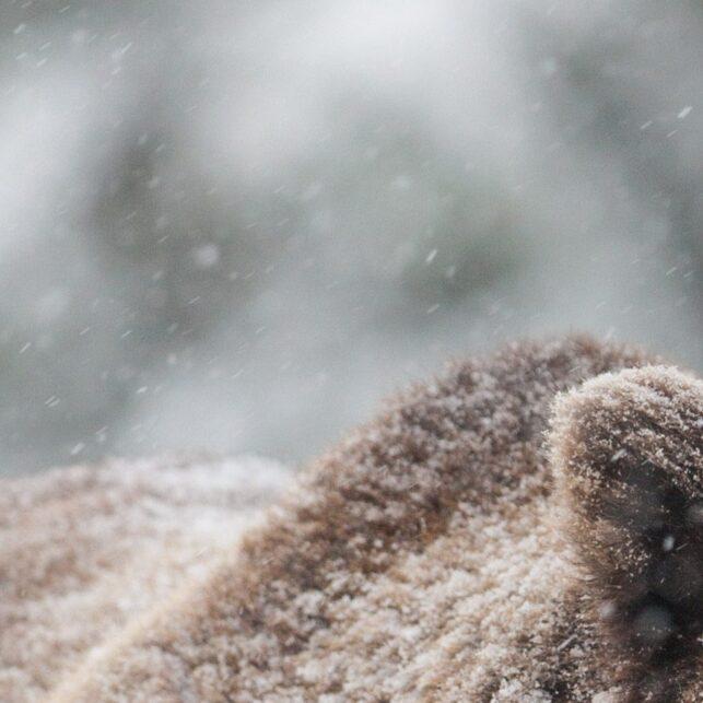 Bamsen kommer lufsende i snøbygene. Detter er en kritisk tid for bjørnen som nettopp har våknet fra vinterdvalen, fotokunst veggbilde / plakat av Kjell Erik Moseid