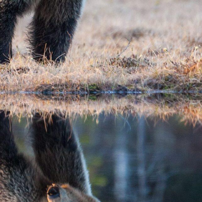 En middels stor bjørn speiler seg i et skogstjern, fotokunst veggbilde / plakat av Kjell Erik Moseid