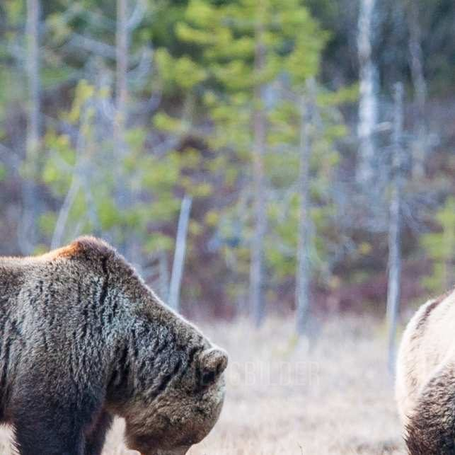 En hannbjørn og ei binne møtes i vannkanten, fotokunst veggbilde / plakat av Kjell Erik Moseid