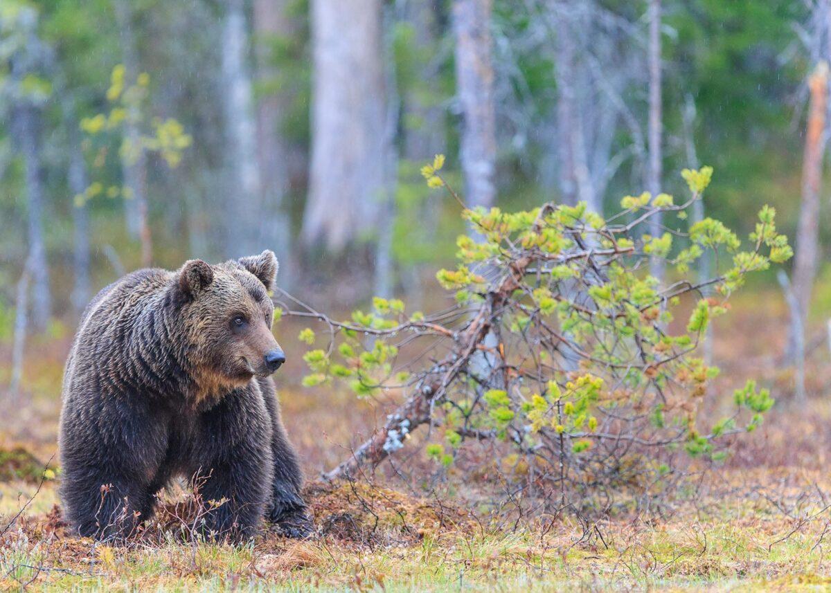 En målrettet bjørn i myrkanten, fotokunst veggbilde / plakat av Kjell Erik Moseid