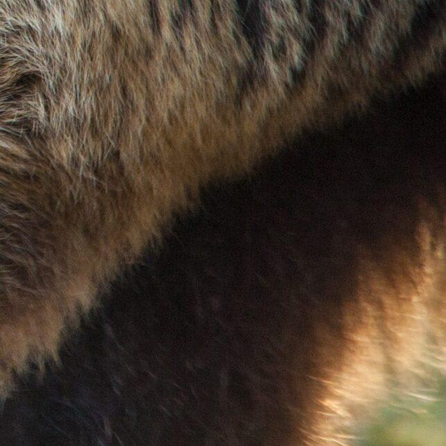 Portrett av en middels stor bjørn i blåbærskogen, fotokunst veggbilde / plakat av Kjell Erik Moseid