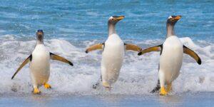 Stor aktivitet i pingvinkolonien, fotokunst veggbilde / plakat av Kjell Erik Moseid