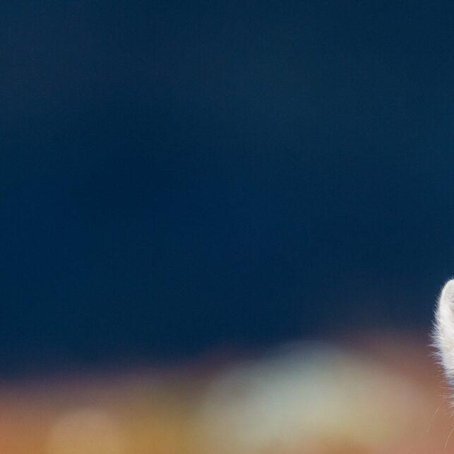 Øyekontakt med fjellreven i ei seng av høstfarger, fotokunst veggbilde / plakat av Kjell Erik Moseid