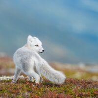 Høst går mot vinter og fjellreven begynner å bli lysere i pelsen, fotokunst veggbilde / plakat av Kjell Erik Moseid