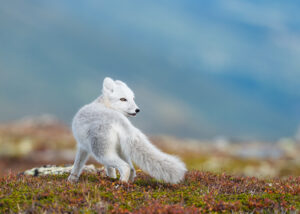 Fjellrevungen sitter undrende på en stein mot en rolig bakgrunn, fotokunst veggbilde / plakat av Kjell Erik Moseid