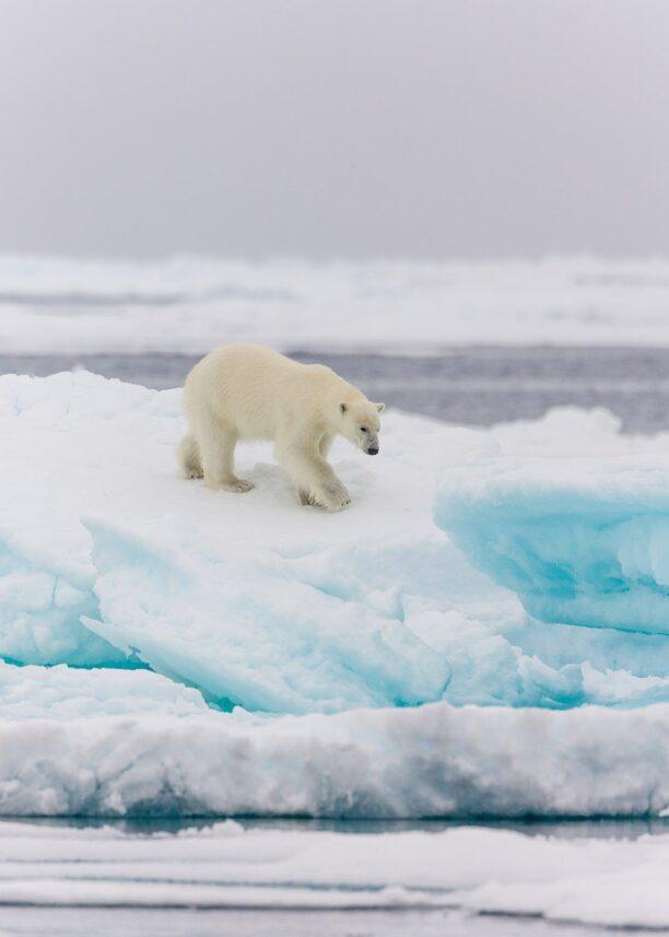 En isbjørn i drivisen, fotokunst veggbilde / plakat av Kjell Erik Moseid