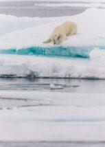 En middels stor bjørn på snøflekker i morgensola, fotokunst veggbilde / plakat av Kjell Erik Moseid
