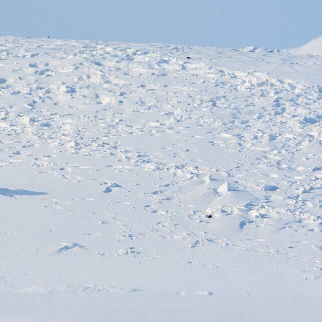 En stor isbjørnhanne på vandring, fotokunst veggbilde / plakat av Kjell Erik Moseid