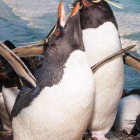 Stor aktivitet i pingvinkolonien , fotokunst veggbilde / plakat av Kjell Erik Moseid