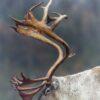 En reinsdyrbukk med et imponerende stort gevir, fotokunst veggbilde / plakat av Kjell Erik Moseid
