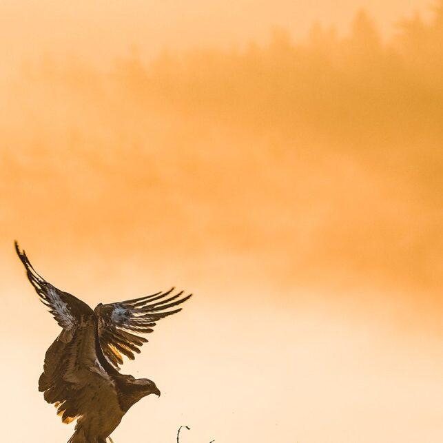Ei fiskeørn kommer inn på redet i morgenskodde., fotokunst veggbilde / plakat av Kjell Erik Moseid