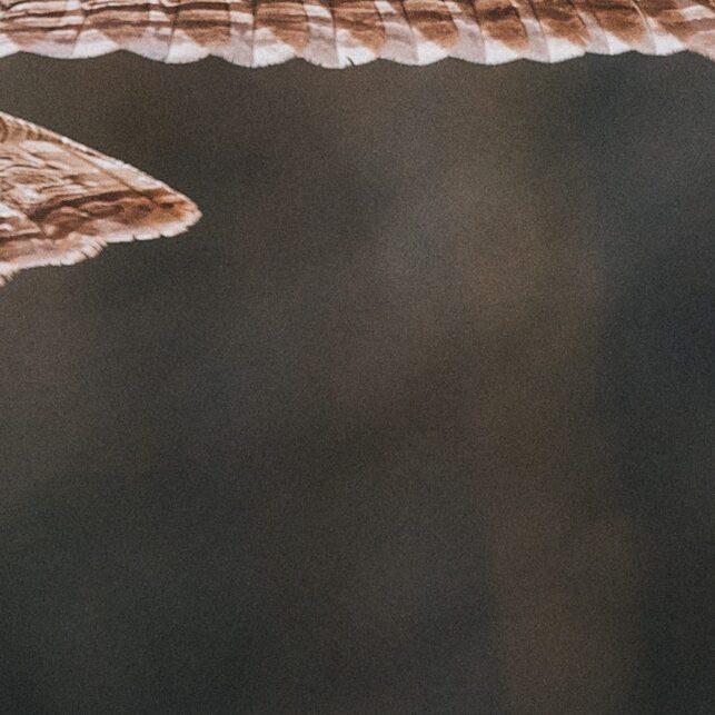 Lappugla kommer seilende rett imot med et stivt blikk, fotokunst veggbilde / plakat av Kjell Erik Moseid