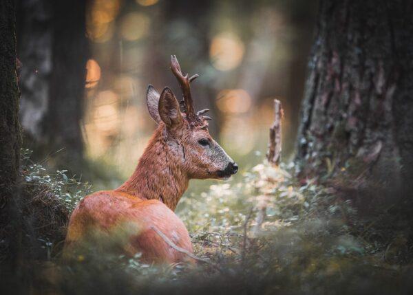 En rådyrbukk hviler i åpen furuskog mens ei sløret kveldssol lyser opp den duse bakgrunnen gjennom vegetasjonen, fotokunst veggbilde / plakat av Kjell Erik Moseid