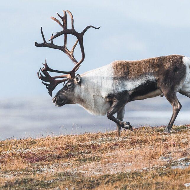 En stor reinsdyrbukk på vandring i Forollhogna nasjonalpark, fotokunst veggbilde / plakat av Kjell Erik Moseid