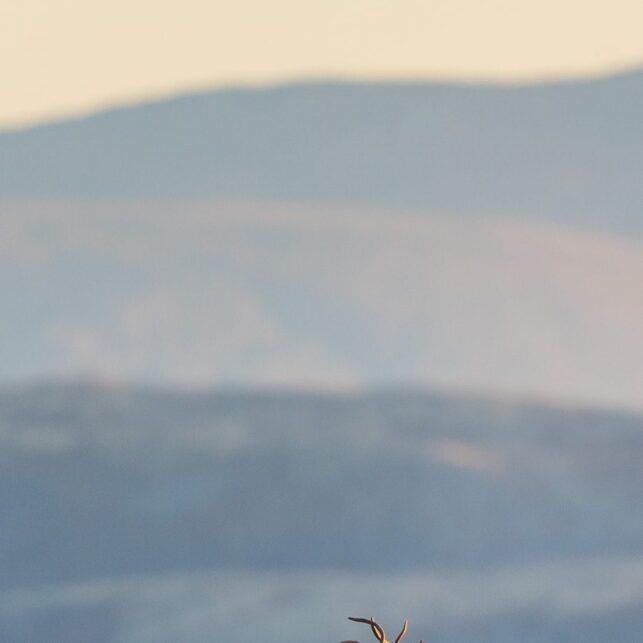 To storbukker i utkanten av en reinsflokk i solnedgang, fotokunst veggbilde / plakat av Kjell Erik Moseid