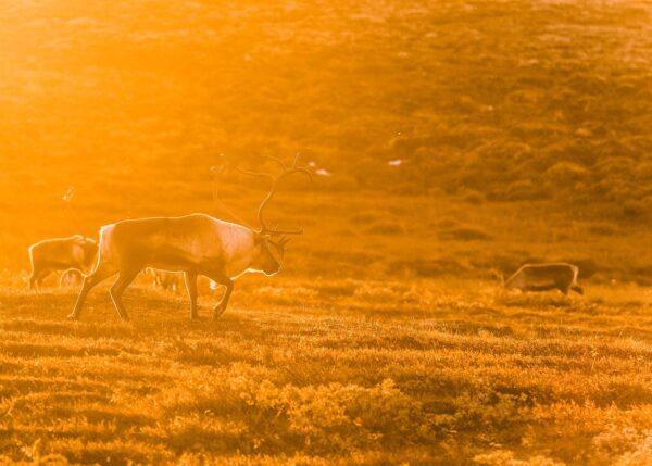 En stor reinsbukk på vandring i solnedangen. Motlys gir en glorie rundt bukken, fotokunst veggbilde / plakat av Kjell Erik Moseid