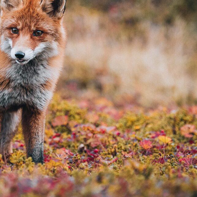 Ei revetispe i en blanding av kreklinghei og moltemyr., fotokunst veggbilde / plakat av Kjell Erik Moseid