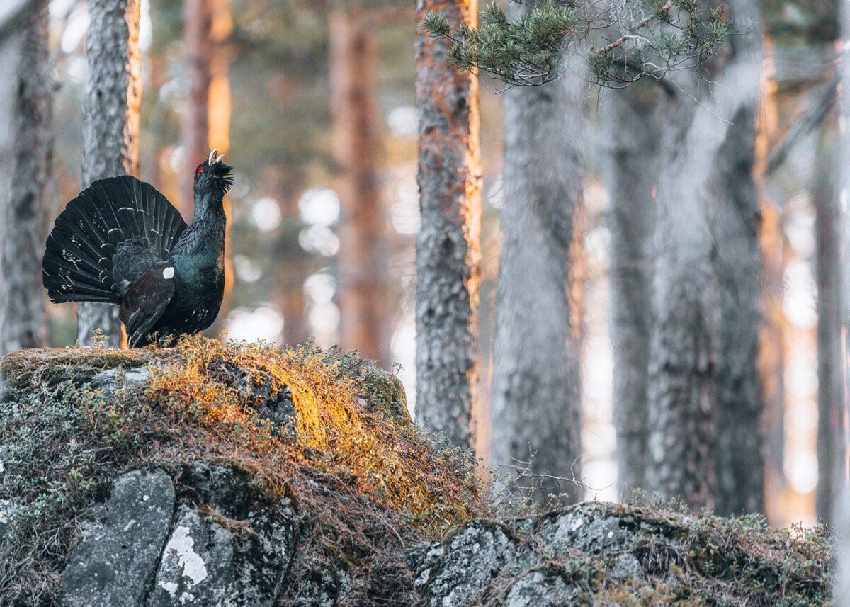 Morgenens første solstreif treffer tiuren som spiller med oppslått halevifte., fotokunst veggbilde / plakat av Kjell Erik Moseid