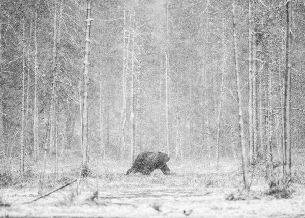 Bjørn i snødrev, fotokunst veggbilde / plakat av Kjell Erik Reinhardtsen