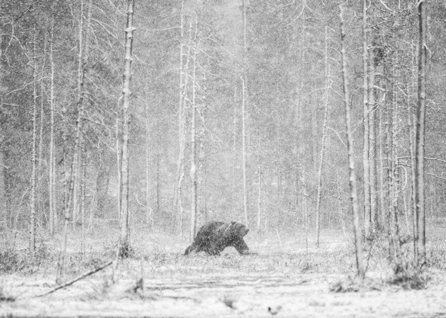 Bjørn i snødrev av Kjell Erik Reinhardtsen