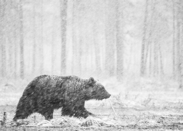 Bjørn i snødrev II, fotokunst veggbilde / plakat av Kjell Erik Reinhardtsen