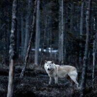 Hvit ulv, fotokunst veggbilde / plakat av Kjell Erik Reinhardtsen