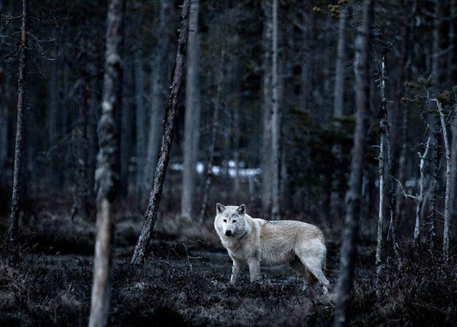 Hvit ulv av Kjell Erik Reinhardtsen